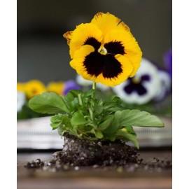بذر گل بنفشه زرد خالدار خوراکی