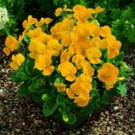 بذر گل بنفشه زرد خوراکی