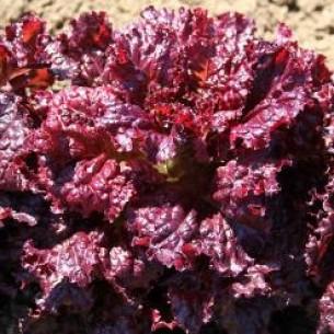 بذر کاهو قرمز گابریلا