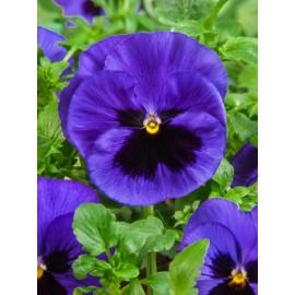بذر گل بنفشه آبی خالدار خوراکی