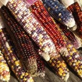 بذر ذرت رنگی هندی