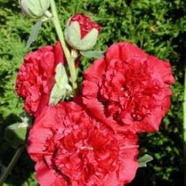بذر گل ختمی پرپر قرمز