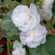 بذر گل ختمی پرپر سفید