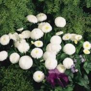 بذر گل مینا چینی سفید