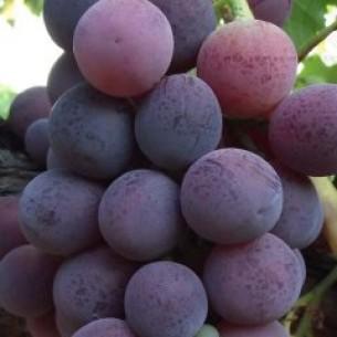 نهال انگور کاردینال