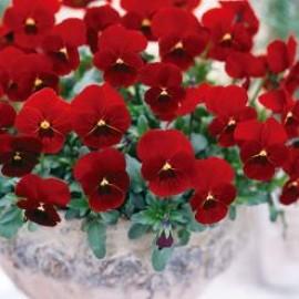 بذر گل بنفشه قرمز خالدار خوراکی