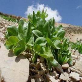 بذر کرفس کوهی