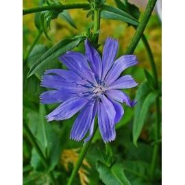 بذر کاسنی (Cichorium intybus)
