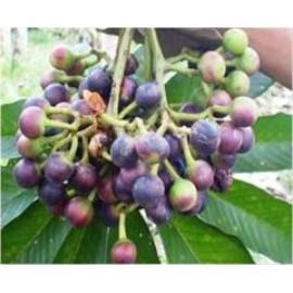 نهال انگور آمازون پیوندی