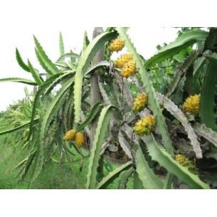 بذر دراگون فروت زرد کمیاب