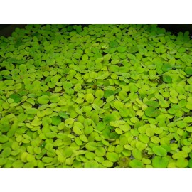 گیاه سالوينيا مینیما  -  WATER SPANGLES