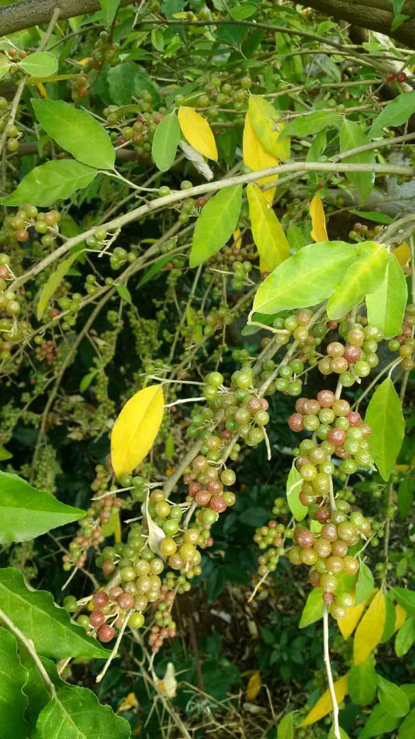 نهالستان ردبازار: میوه دادن انگور فرنگی