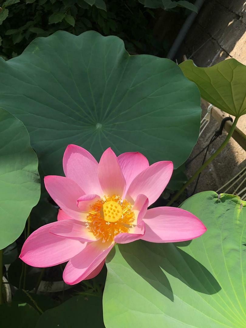 نهالستان ردبازار: گل دهی لوتوس ویتنامی