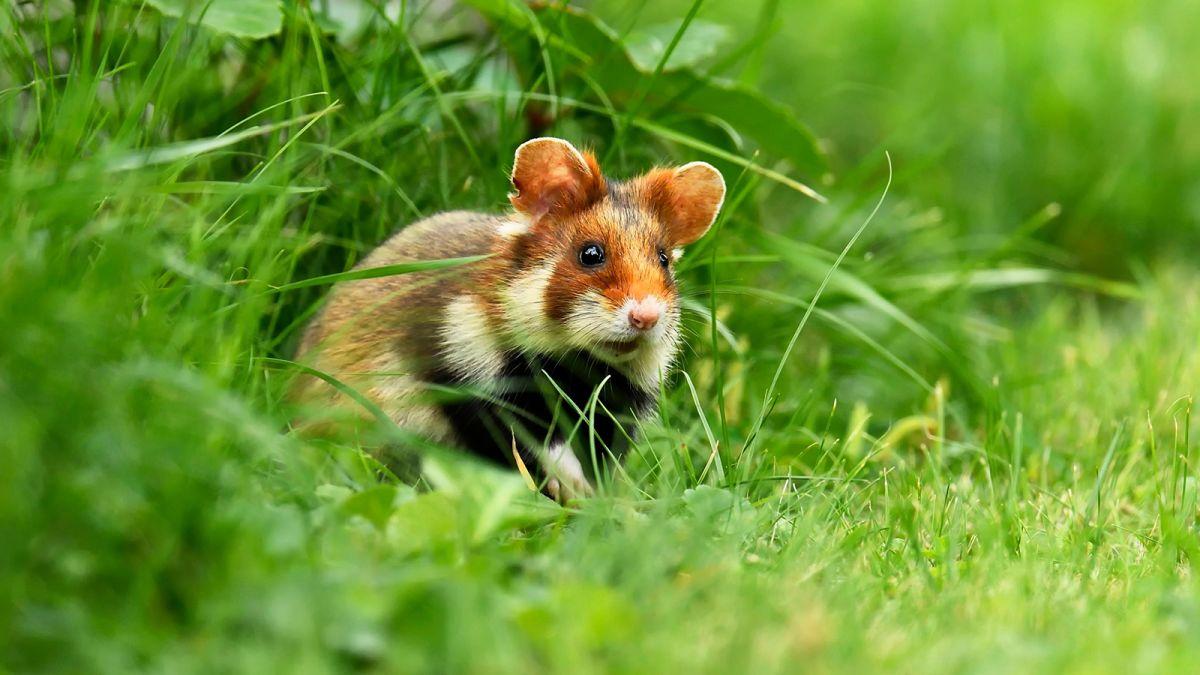 اخبار :همستر قرمز در خطر انقراض