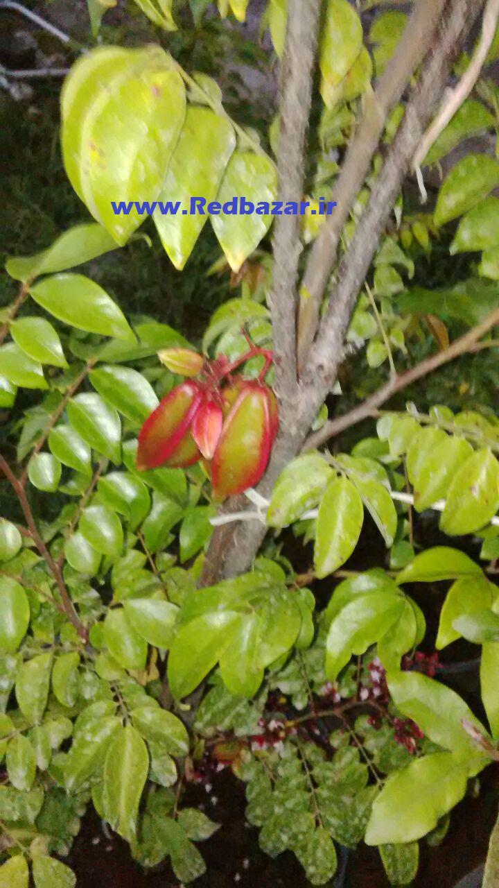میوه دهی استار فروت در گلخانه ردبازار